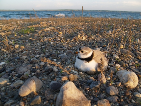 Photo of a plover
