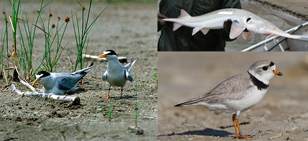 Photo collage of the federally listed species found along the Missouri River: the interior least tern, the pallid sturgeon, and the piping plover